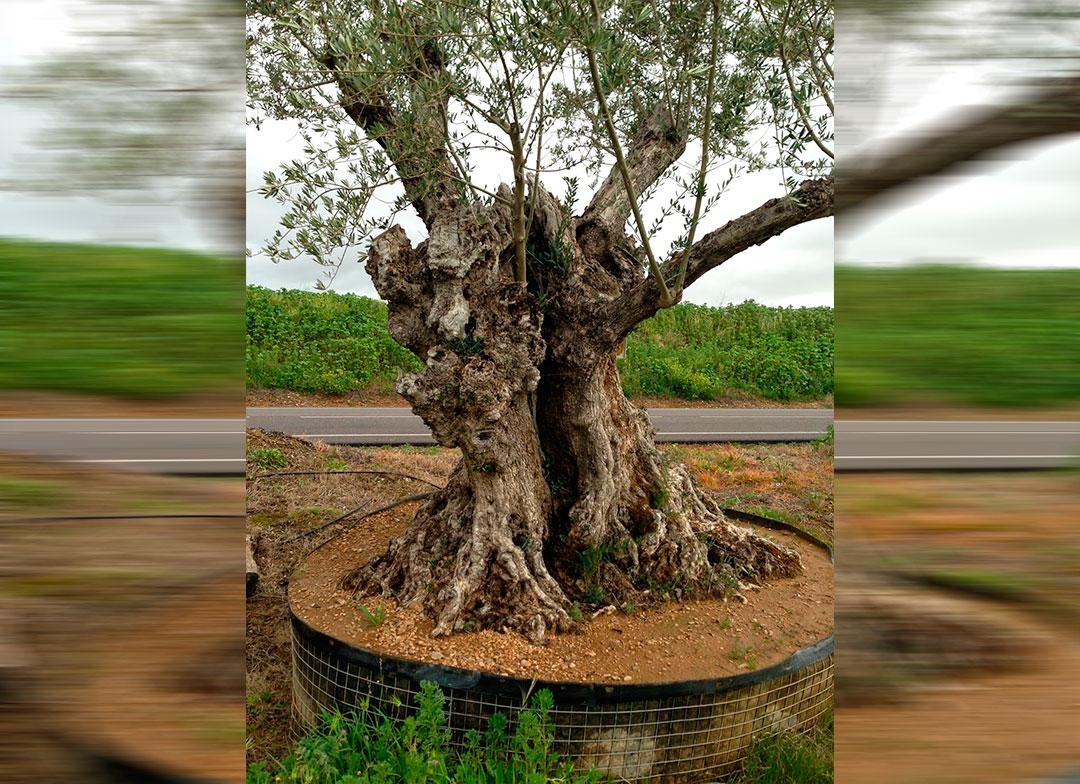 olivosextremadura